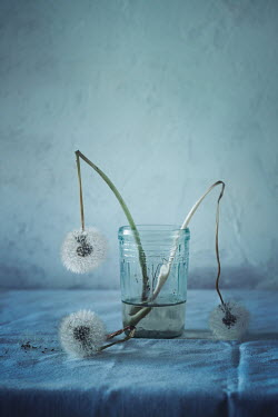 Magdalena Wasiczek DECAYING DANDELIONS WITH JAR OF WATER Flowers