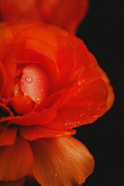 Susan O'Connor CLOSE UP OF WET ORANGE ROSE Flowers