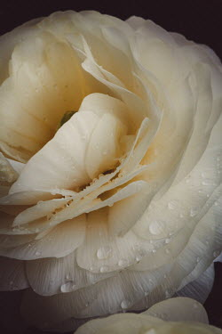 Susan O'Connor CLOSE UP OF WET WHITE ROSE Flowers