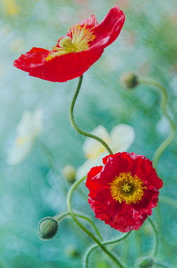 Magdalena Wasiczek TWO RED POPPIES OUTDOORS IN SUMMER Flowers/Plants