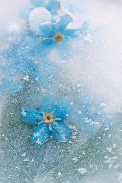 Magdalena Wasiczek FROZEN BLUE FLOWERS AND LEAVES IN ICE Flowers/Plants