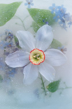 Magdalena Wasiczek WHITE AND BLUE FLOWERS IN ICE FROM ABOVE Flowers/Plants