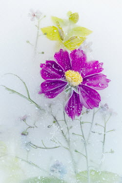 Magdalena Wasiczek PURPLE FLOWER FROZEN IN ICE Flowers/Plants