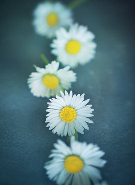 Mark Owen CLOSE OF DAISY CHAIN Flowers
