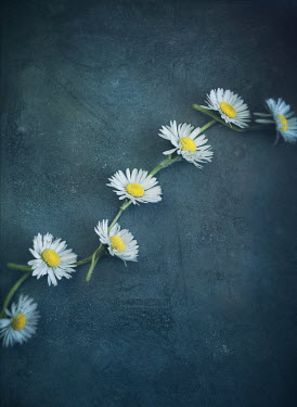 Mark Owen DAISY CHAIN FROM ABOVE Flowers