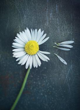 Mark Owen PICKED PETALS OF DAISY Flowers