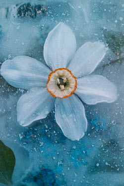 Magdalena Wasiczek WHITE FLOWER IN ICE FROM ABOVE Flowers/Plants