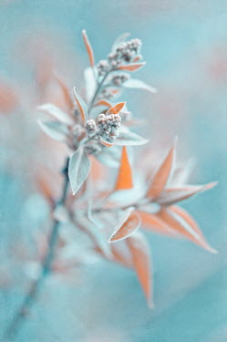 Magdalena Wasiczek CLOSE OF ORANGE PLANT WITH FROST Flowers/Plants