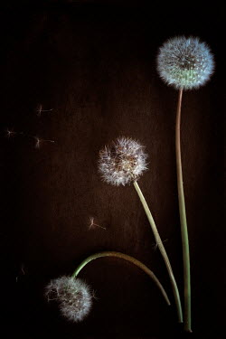 Magdalena Wasiczek THREE DANDELIONS WITH SEEDS Flowers