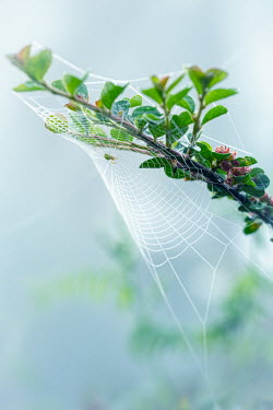 Magdalena Wasiczek SPIDER AND COBWEB ON TWIG WITH LEAVES Insects
