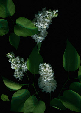 Magdalena Wasiczek WHITE FLOWERS AND LEAVES IN SHADOW Flowers