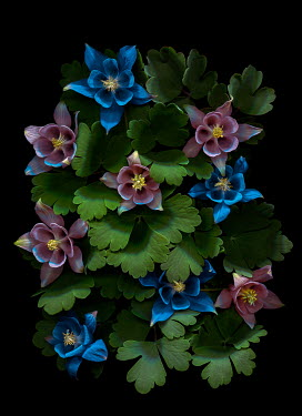 Magdalena Wasiczek columbine flowers on a black background Flowers