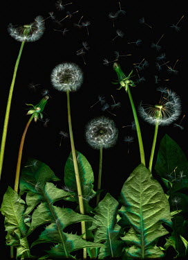 Magdalena Wasiczek DANDELIONS LEAVES AND SCATTERED SEEDS Flowers