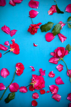 Miguel Sobreira SCATTERED RED ROSE PETALS FROM ABOVE Flowers