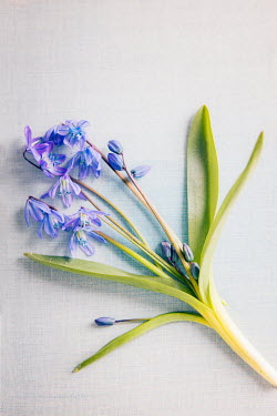 Isabelle Lafrance Purple flowers on white background