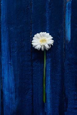 Magdalena Wasiczek WHITE FLOWER ON BLUE TABLE Flowers