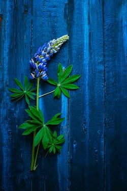 Magdalena Wasiczek BLUE FLOWERS ON PAINTED TABLE Flowers