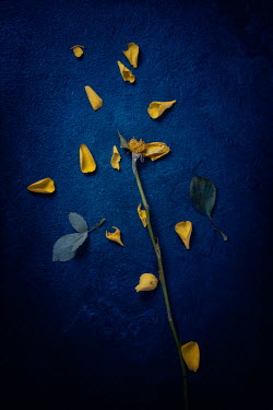 Magdalena Wasiczek YELLOW ROSE STEM WITH SCATTERED PETALS Flowers