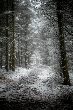 David Baker EMPTY FOREST WITH TREES IN SNOW Trees/Forest