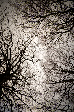 David Baker TREES AND BRANCHES IN WINTER FROM BELOW Trees/Forest