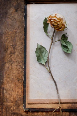 Magdalena Wasiczek YELLOW WITHERED ROSE ON PAPER IN BOOK Flowers