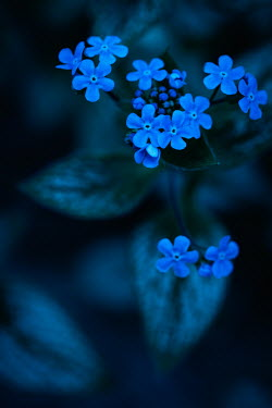 Magdalena Wasiczek SMALL BLUE FLOWERS AT OUTDOORS AT DUSK Flowers/Plants