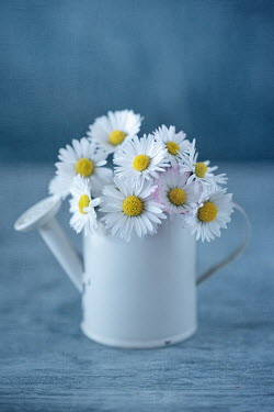 Magdalena Wasiczek DAISIES IN MINIATURE WATER CAN Flowers