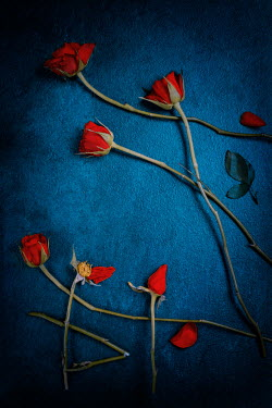 Magdalena Wasiczek SCATTERED RED ROSES ON BLUE BACKGROUND Flowers