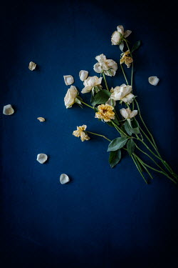 Magdalena Wasiczek WILTED YELLOW ROSES WITH SCATTERED PETALS Flowers