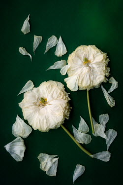 Magdalena Wasiczek WILTED WHITE FLOWERS WITHB SCATTERED PETALS Flowers