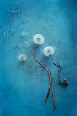 Magdalena Wasiczek DANDELION SEEDS AND STALKS  FROM ABOVE Flowers
