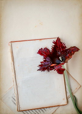 Magdalena Wasiczek RED TULIP ON BROKEN BOOK Flowers