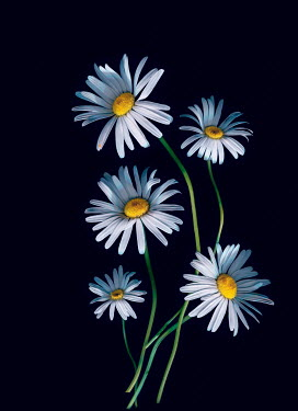 Magdalena Wasiczek WHITE DAISIES WITH SHADOW Flowers