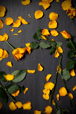 Miguel Sobreira BROKEN YELLOW ROSES WITH SCATTERED PETALS Flowers