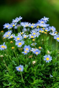 Ysbrand Cosijn Blue daisies