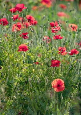 Ysbrand Cosijn Poppies in meadow