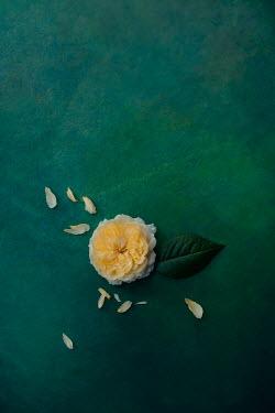 Magdalena Wasiczek Yellow rose
