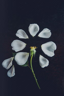 Isabelle Lafrance WHITE ROSE CIRCLE OF PETALS Flowers