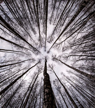 Jaroslaw Blaminsky TALL TREES IN WINTER FROM BELOW Trees/Forest