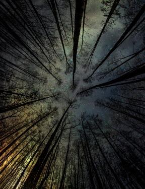 Jaroslaw Blaminsky WINTER TREES WITH STARRY SKY FROM BELOW Trees/Forest