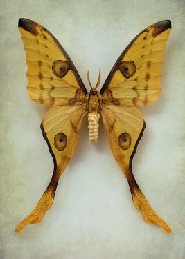 Jaroslaw Blaminsky LARGE YELLOW BUTTERFLY WITH TAILS Insects