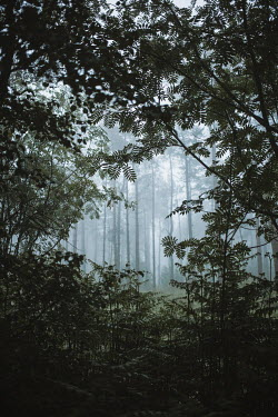 Shelley Richmond TREES AND PLANTS IN MISTY FOREST Trees/Forest