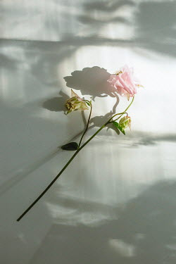 Shelley Richmond PINK FLOWER LYING IN SUNLIGHT Flowers
