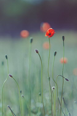 Susan O'Connor POPPIES IN SUMMERY FIELD Flowers/Plants