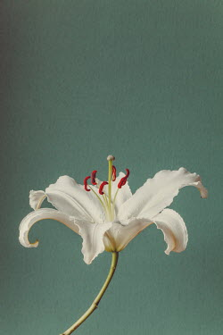 Susan O'Connor WHITE FLOWER WITH RED STAMENS Flowers