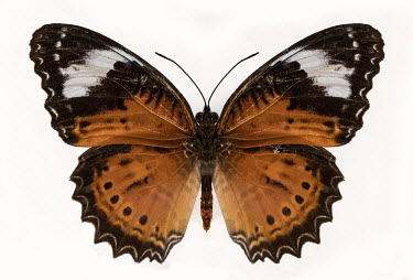 Jaroslaw Blaminsky BLACK AND BROWN BUTTERFLY WITH MARKINGS Insects