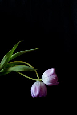 Jaime Brandel TWO INTERTWNNED PURPLE TULIPS Flowers