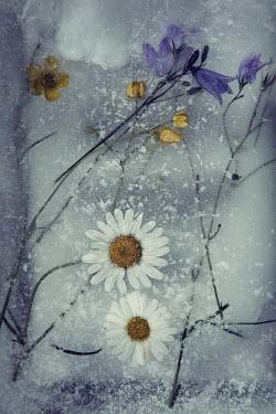 Carmen Spitznagel FROZEN FLOWERS FROM ABOVE Flowers