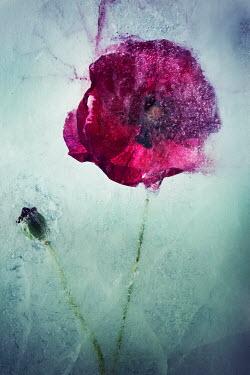 Carmen Spitznagel CLOSE UP OF FROZEN PURPLE POPPIES Flowers