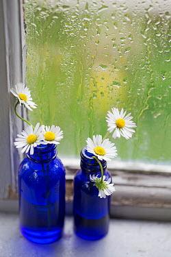 Alison Archinuk DAISIES IN BLUE BOTTLES BY WET WINDOW Flowers